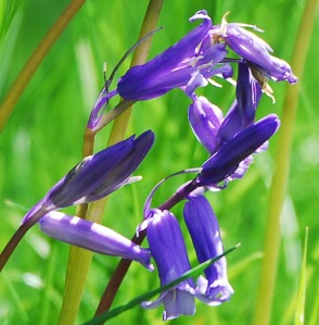 One of Graham's Bluebell photos