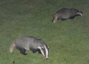 Female (r) and juvenile (l) badger