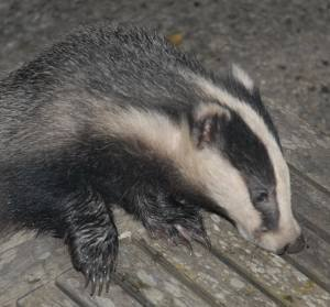 Juvenile badger - up close and personal!