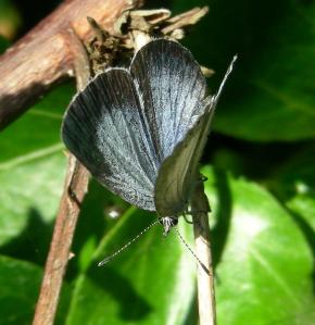 Female Holly Blue