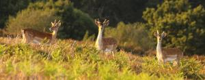 Fallow deer - Image copyright Mike Clarke