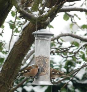 Chaffinches on our seed feeder 14th January 2013