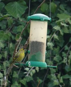 Male Siskin on our Niger seed feeder 16th January 2013