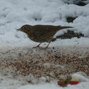Mistle Thrush feeding on bird seed in my garden on 21st January 2013 (and ignoring the apple I put out for it)