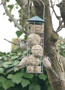 Three Long-Tailed Tits on birdfeeder