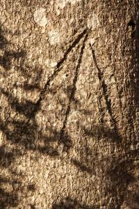 Ancient Tree Graffiti - what is this mark, and why was it put there? (Photo courtesy Michael Clarke)