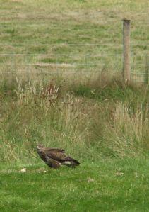The 'raptor relative' Buzzard, Gigrin Farm, Rhyader 2005