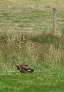 The 'raptor relative' Buzzard, Gigrin Farm, Rhyader 2005