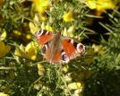 Peacock Butterfly on Gorse