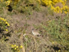 Whitethroat, Blackbushe, Yateley