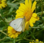 Small White on the Corn Marigold's of my Dad's wildflower garden, New Forest 26th July 2013