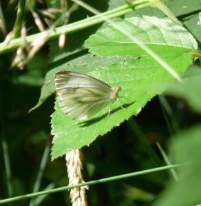 Green Veined White butterfly, New Forest, 26th July 2013