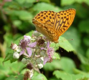 Silver Washed Fritillary, New Forest, 26th July 2013