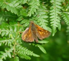 Male Large Skipper, New Forest, 26th July 2013