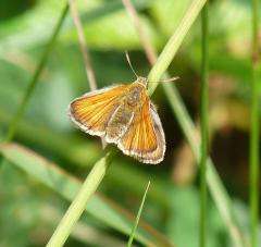 Female Small Skipper (male's have a black line on the upper wing), New Forest 26th July 2013