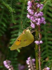 Clouded Yellow, male, near Sawley Beeches, New Forest, 30th August 2013