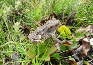A young Common Toad in Soldiers Bog, New Forest, 30th August 2013