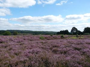 The heath at Backley, near Sawley Beeches, New Forest, 30th August 2013