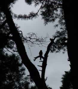 You'll have to trust me on this - the silhouette is a young Hobby sat among the Scot's Pine it was born in, New Forest, 30th August 2013