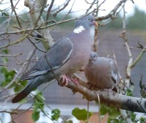 This newly fledged squab (young Wood Pigeon) had to keep asking to get the care and food it needed! Photographed 15th Feb 2014 at a blustery dusk.