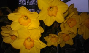 Some wonderful scented narcissus that Graham had bought me to come home to on Sunday filling our house with a beautiful scent (sorry we've not got smellavision yet!)