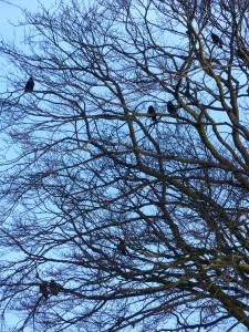 No Ravens at Cuddesdon, but plenty of Jackdaws - some of which perch most of the day in the big Beech tree by College House!
