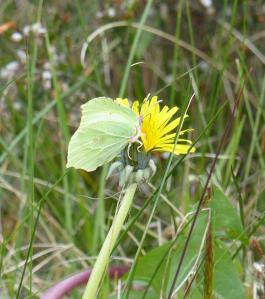 Female Brimstone on a Dandelion.