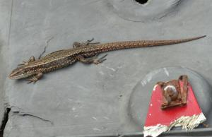 Male Common Lizard on some car refuse up on Blackbushe