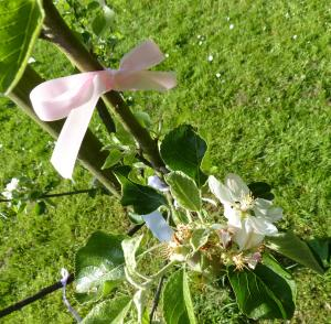 Tying our prayers to the seasons with ribbons tied to a young apple tree in the orchard of St. Peter's Church in St. Albans - springtime and fruitfulness all in one.