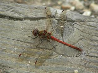 Common Darter dragonfly - the inspiration for the stole (photographed at a place known as Murray's Passage, New Forest)