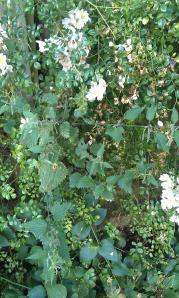 The stinging nettles flowering amongst my rambling rose!