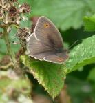 Male Meadow Brown - much darker than the female