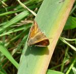 Large Skipper - a first for me, at least of a confirmed photographed sighting. Slightly bigger than it's small cousin and with more marbled wings.