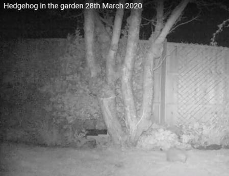 2020-03-26 hedgehog